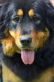 Tibetan Mastiff at the dog show in the spring poster