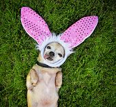 a cute chihuahua laying in the grass with his tongue out and bu poster