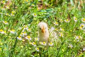 Small chicken hiding in the camomiles on a sunny summer day poster