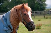 Pretty pony wearing a grazing muzzle to avoid obesity poster