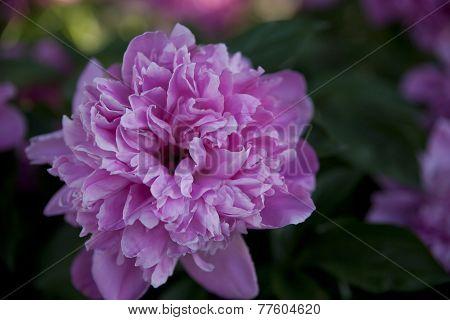 Blooming Peony