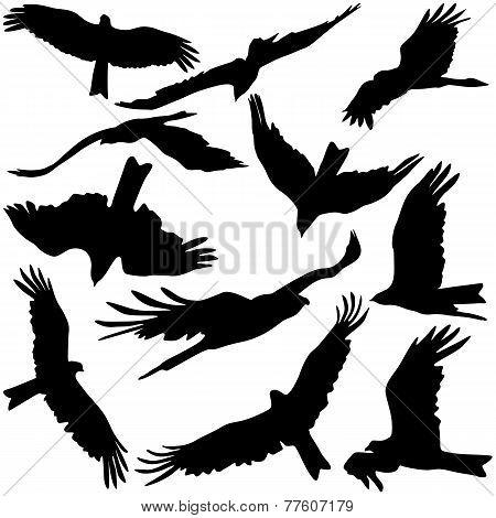 Set black silhouettes of prey eagles on white background.