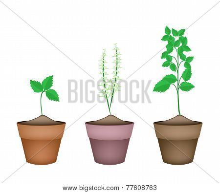 Vegetable and Herb Illustration of Holy Basils or Sacred Basil Plants in Terracotta Plant Pots. poster