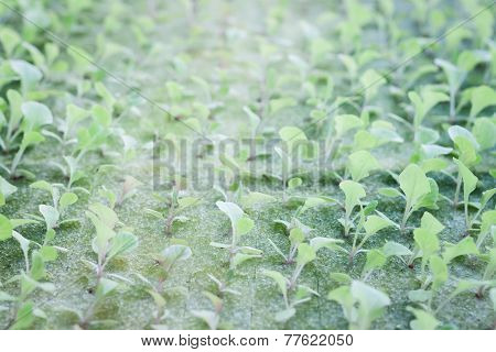 Hydrophonic Plantation Of Vegetable Salad