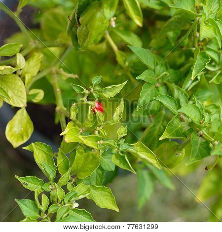 Jolokia Chili Pepper