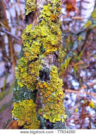 Wart on the tree