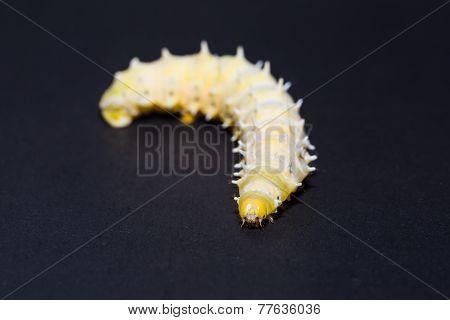 Eri Silkmoth Caterpillar