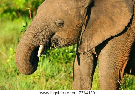 Small baby Elephant in the wild. Africa. Kenya. Masai Mara poster