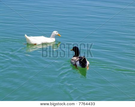 The two ducks swimming