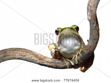 Red Eyed Tree  Frog On A Branch