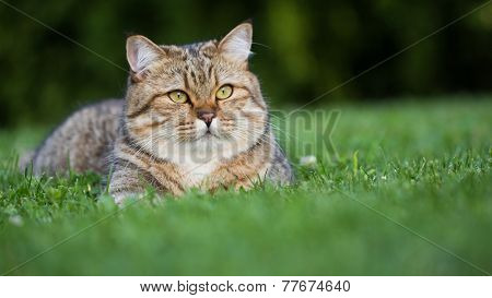 Beautiful british short-hair domestic cat resting on the grass outside his house