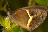 Butterfly (Pyronia bathseba) poster