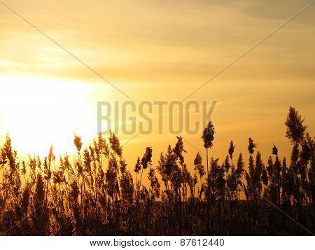 bulrushes against  sunset