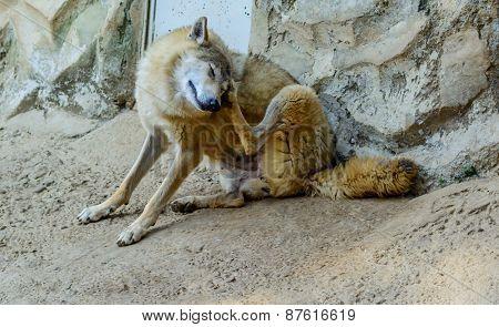 Himalayan wolf (Canis lupus himalayensis)