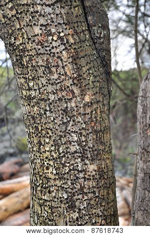 Woodpecker Damaged Tree