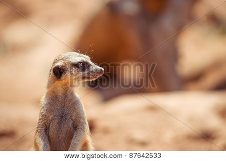 Alert meerkat standing on guard, South Africa poster
