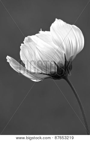 Cosmos Flower in Black and White