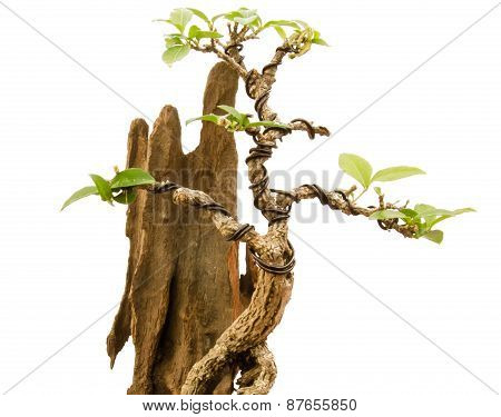 Chinese green bonsai tree on white background