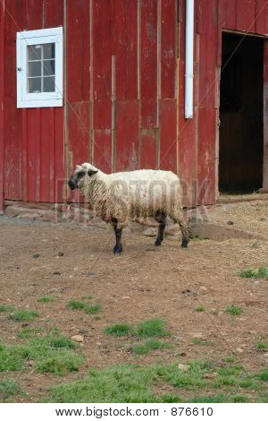 Sheep In Front Of Barn