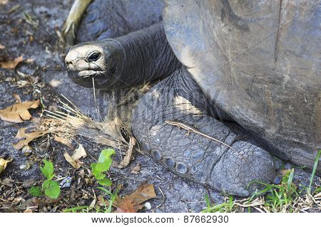Lizard crawled on foot Aldabra giant tortoise