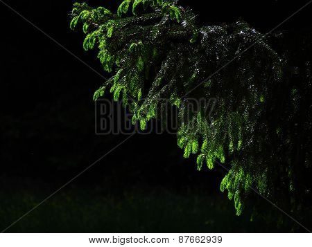Young Branches Of A Fir-tree