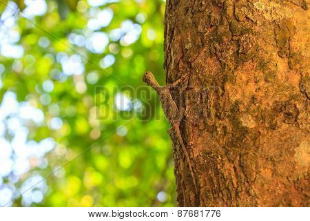 beautiful Common Gliding Lizard or Common Flying Drago