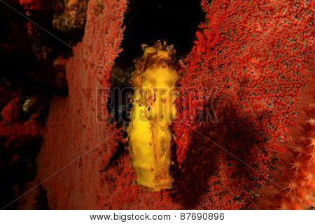 Yellow Tigertail Seahorse poster