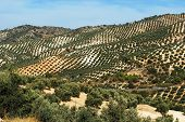 Spanish olive groves on the mountainsides Between Iznajar and Archidona Malaga Province Andalusia Spain Western Europe. poster