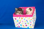 Two cute kittens sitting inside of polka dot gift box on blue background poster