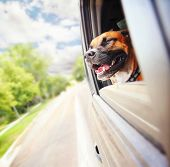 a boxer pit bull mix dog riding in a car with her head out of the window poster