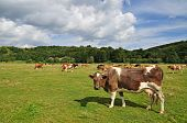 Cows on a summer pasture in a rural landscape under clouds. poster