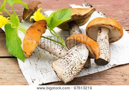 Freshly Harvested Mushrooms (leccinum Aurantiacum) On A Birch Bark