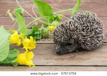 Curious Little Hedgehog And Flowers Tladianta