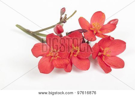 Sprig Of Tiny Red Flowers With Pollen On Anthers