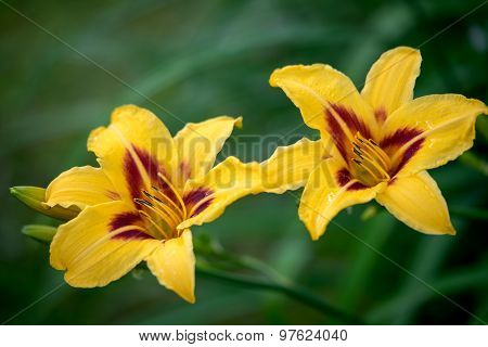 Two Yellow Daylily Blooming In A Garden