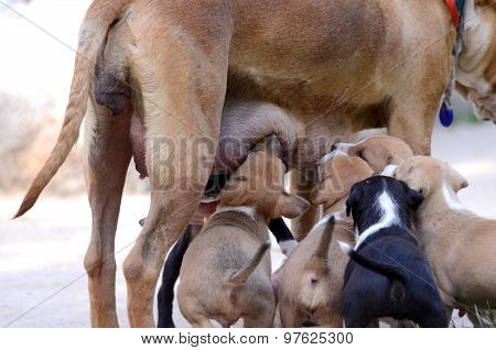 Picture of a Cute amstaff puppies breastfeeding. One month old.