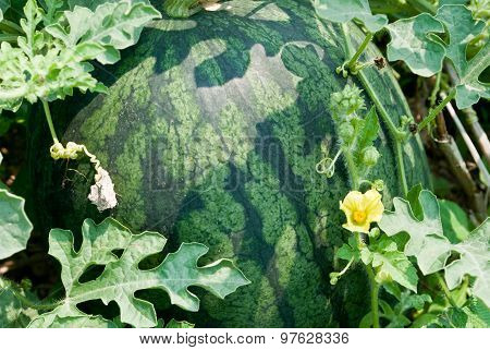 Watermelons In A Vegetable Garden- Stock Photo