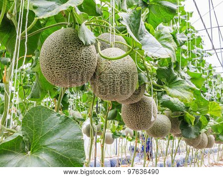 Cantaloupe melons growing in a greenhouse supported by string melon nets stock photo poster