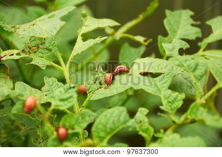 Nasty Young Colorado Beetles