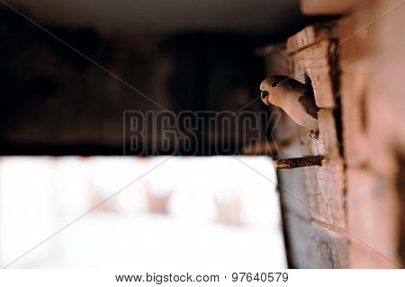 young green agapornis looking from birdhouse, bird