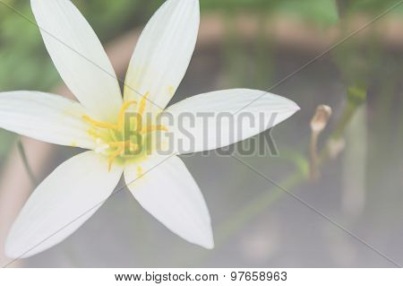White Zephyr Lily, Zephyranthes Candida Bautiful Blooming In Garden Thailand, Soft Focus