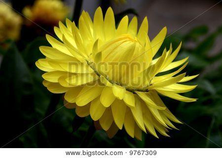 Yellow straw flower