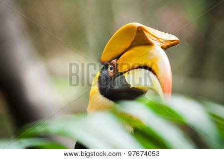 Great Hornbill (buceros Bicornis), Also Known As The Great Indian Hornbill Or Great Pied Hornbill. W