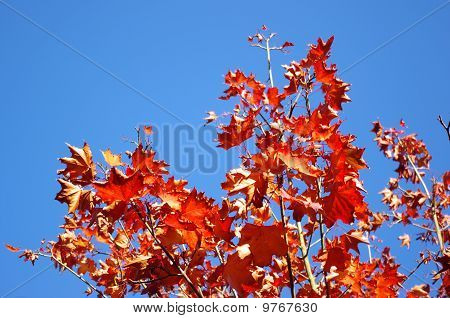 Red autum leaves