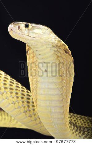 The Sumatran spitting cobra (Naja sumatrana) is a highly venomous snake species found in Southeast Asia. poster