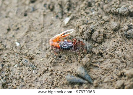 Fiddler Crab In The Mangrove