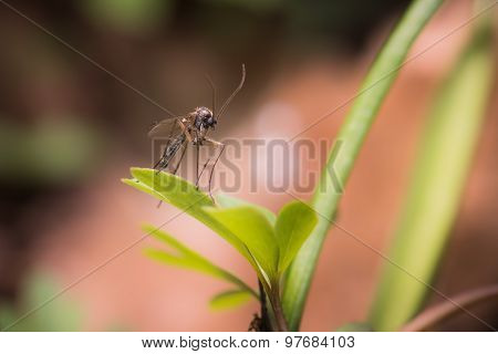 Forest Mosquito