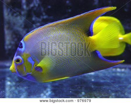 tropical fish corall fish sea angel water poster