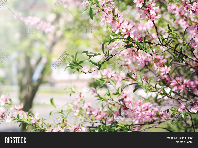 Blossom Almond Bush Image Photo Free Trial Bigstock