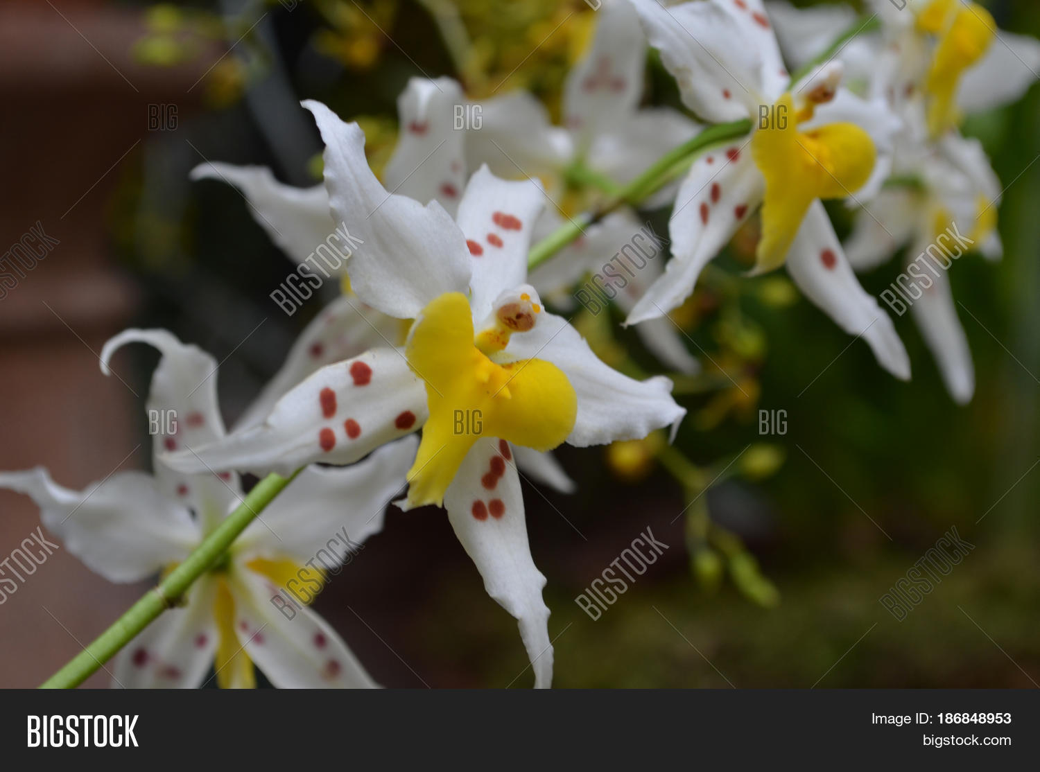 Pretty White Yellow Image Photo Free Trial Bigstock